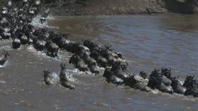 Hintere Ansicht des hohen Winkels einer Gnuherde, die den Mara-Fluss in der Masaimara-Spielreserve kreuzt stock footage