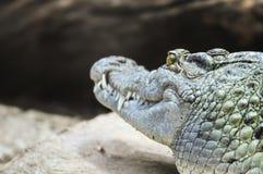 Hintere Ansicht des Krokodils aalend auf einem Felsen Stockbilder