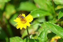 hintere Ansicht des Link-Viertels einer wilden Honigbiene, die über einem gelben Wildflower in Thailand schwebt Lizenzfreie Stockfotografie