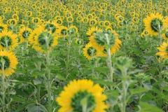 Hintere Ansicht des Sonnenblumengartens Lizenzfreies Stockfoto