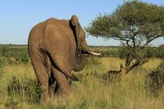 Hintere Ansicht eines Elefantessens stockfotos