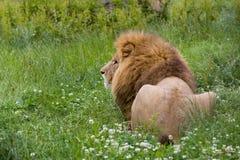 Hintere Ansicht eines Löwes Lizenzfreie Stockfotografie