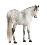 Hintere Ansicht eines männlichen Andalusian, 7 Jahre alt, alias des reinen spanischen Pferds oder VOR, zurück schauend Lizenzfreie Stockfotos
