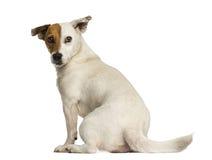 Hintere Ansicht eines Terriers Jacks Russel, der zurück, lokalisiert schaut Stockfotos