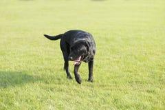 Hintere Ansicht eines Welpenhundes auf einem grauen Hintergrund Stockfotos