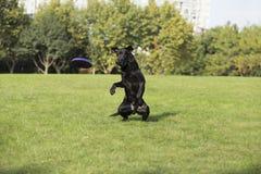 Hintere Ansicht eines Welpenhundes auf einem grauen Hintergrund Lizenzfreies Stockfoto