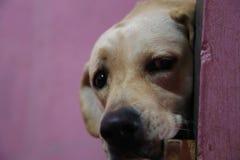Hintere Ansicht eines Welpenhundes auf einem grauen Hintergrund stockfoto