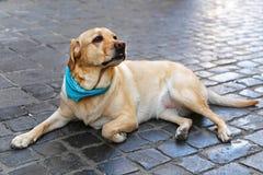 Hintere Ansicht eines Welpenhundes auf einem grauen Hintergrund Lizenzfreies Stockbild