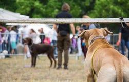 Hintere Ansicht Hundevon den aufpassenden Hunden und -leuten, die am Hundeshowwettbewerb teilnehmen Lizenzfreie Stockbilder