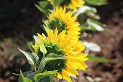 Hintere Ansicht Makroansicht der Sonnenblume in der Blüte Natürlicher Blumenhintergrund Lizenzfreie Stockbilder