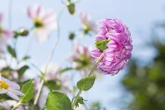 Hintere Seitenansicht einer Adlerfarn-Folge Dahlia Flower Against Sky Lizenzfreie Stockfotografie