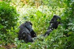 Hinterer Gorilla des Silbers Stockbilder