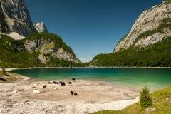 Hinterer Gosausee in Austria di estate, bestiame che riposa vicino al wate Fotografia Stock
