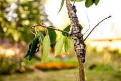 Hinterer Knoten-Pilz auf Maitag-Baum lizenzfreie stockbilder