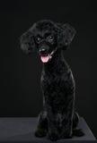 Hinteres Pudelporträt im schwarzen Hintergrund Stockfotografie