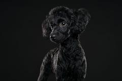 Hinteres Pudelporträt im schwarzen Hintergrund Lizenzfreie Stockfotos