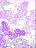 Hintergründe, Blumen, Niederlassung der Flieder stock abbildung