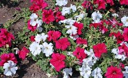 Hintergründe von den Blumen rot und von weißen Petunien Lizenzfreie Stockfotografie