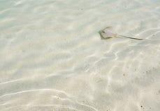 Hintergrund Baby allgemeinen stingaree Stechrochens im seichten Wasser Stockfotos