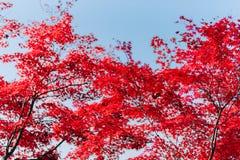 Hintergrund-Beschaffenheit des Gelbs lässt Autumn Leaf Background Stockfotos