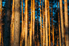 Hintergrund-Beschaffenheit des Kiefern-Stamm-Sonnenuntergang-Waldes Lizenzfreie Stockfotos