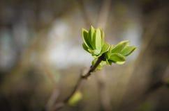 Hintergrund, blühende Knospen der Flieder Frühling, Niederlassung von Flieder wi Lizenzfreie Stockbilder