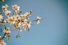 Hintergrund Blütenbaums des Frühlinges des weißen Kirsch lizenzfreie stockfotografie