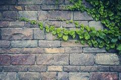 Hintergrund der alten Steinwand mit dem grünen Efeu Stockbilder