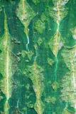 Hintergrund der Barke des Snakebark Ahornholzes Lizenzfreie Stockfotografie