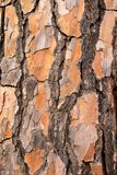 Hintergrund der Barke der Kiefer Schließen Sie herauf Schuß Stockbilder