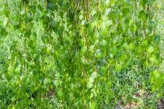 Hintergrund der Birkenzweige, die unten gegen Rasen hängen Lizenzfreies Stockfoto