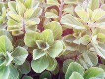 Hintergrund der frischen grünen Blätter Grün lässt Hintergrund Lizenzfreie Stockbilder