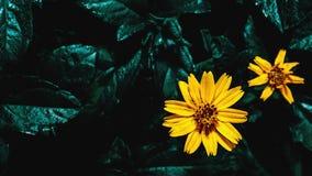 Hintergrund der gelben Blume und des dunkelgrünen Urlaubs, Draufsicht Lizenzfreies Stockbild