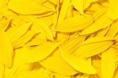 Hintergrund der gelben Sonnenblumeblumenblätter Stockbild