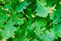 Hintergrund der grünen Eichenblätter stockfotos