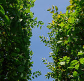 Hintergrund der grünen Hecke und des blauen Himmels Stockfotografie