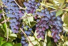 Hintergrund der Gruppen der blauen Trauben auf einer Rebe Lizenzfreies Stockfoto