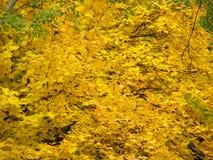 Hintergrund der Herbstgelbblätter Lizenzfreie Stockfotografie