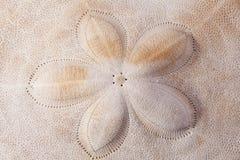 Hintergrund der Muschel der Rüstung des Seeigelmakro Lizenzfreie Stockfotografie