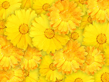 Hintergrund der orange und gelben nassen Blumen Stockfotografie