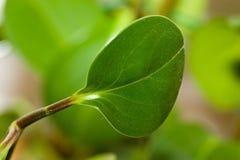 Hintergrund der organischen Umgebung des Grünpflanzeblattes Stockbilder