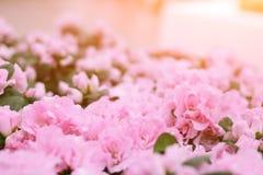 Hintergrund der rosafarbenen Blumen lizenzfreie stockbilder