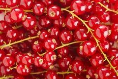 Hintergrund der roten Johannisbeere Stockfoto