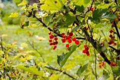 Hintergrund der roten Johannisbeere Reife rote Johannisbeernahaufnahme als Hintergrund Ernten Sie die reifen Beeren von roten Joh Stockfoto