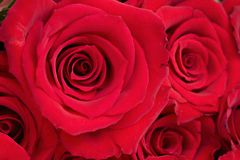 Hintergrund der roten Rosen Stockfotos