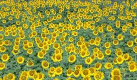 Hintergrund der Sonnenblume Lizenzfreie Stockfotos