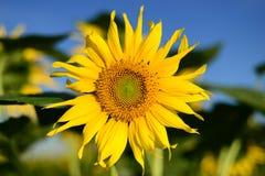 Hintergrund der Sonnenblume und des blauen Himmels Stockfotografie