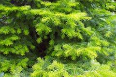 Hintergrund der Tannenbaumniederlassungen lizenzfreies stockbild