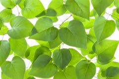 Hintergrund der von hinten beleuchteten grünen Blätter Stockfoto