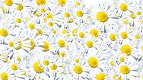 Hintergrund der weißen Blumen stock video